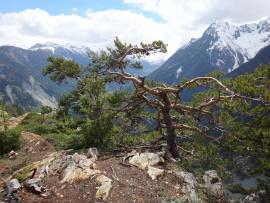 Un arbre face à des sommets enneigés